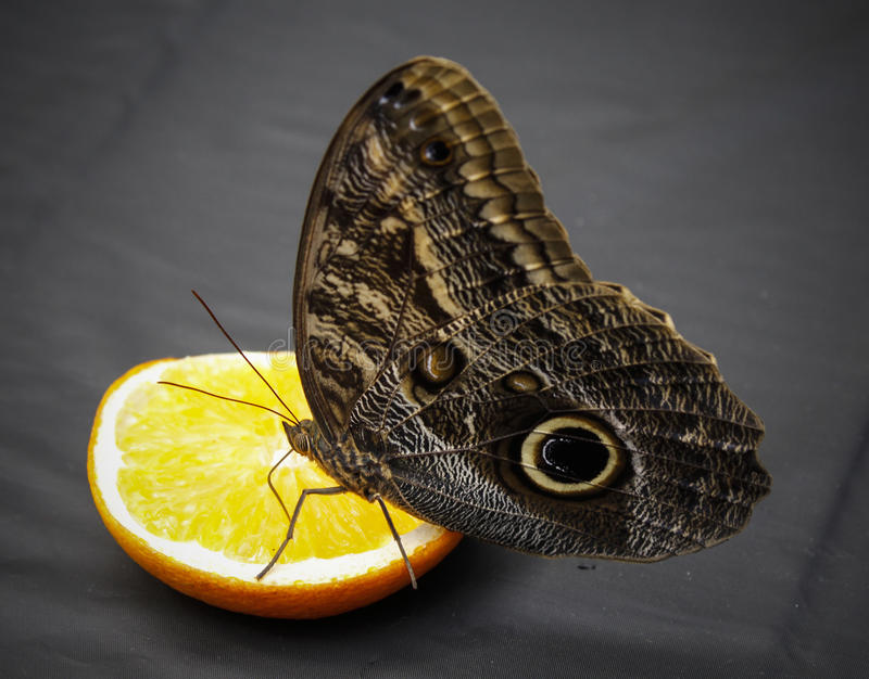 Giant owl butterfly royalty free stock photography