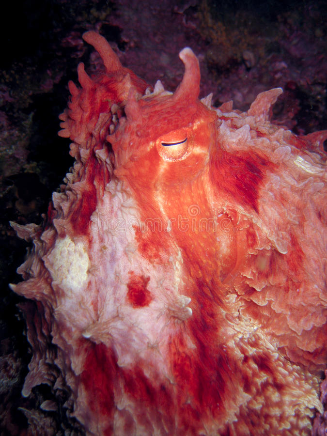 Giant Pacific octopus staring at camera