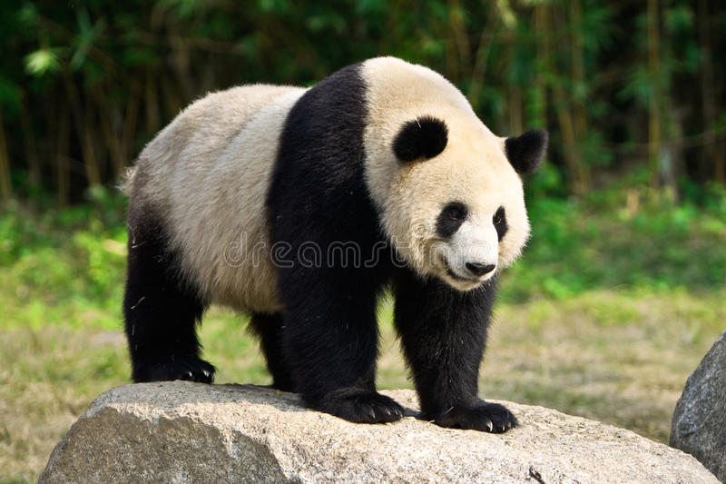 GIANT PANDA. A giant panda stands on a rock