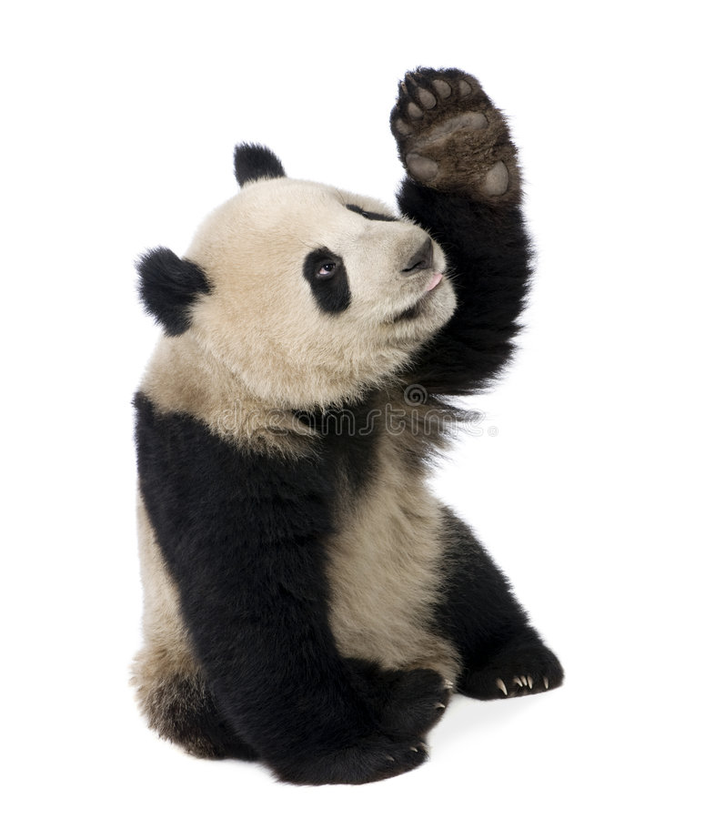 Giant Panda (18 months) - Ailuropoda melanoleuca. In front of a white background stock images