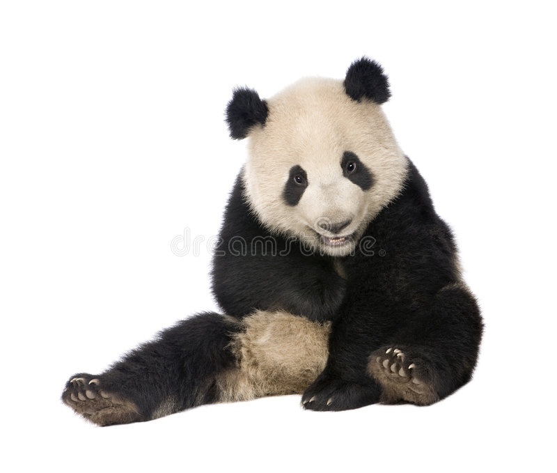 Giant Panda (18 months) - Ailuropoda melanoleuca. In front of a white background stock photos