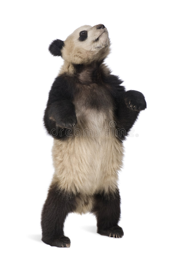 Giant Panda (18 months) - Ailuropoda melanoleuca. In front of a white background royalty free stock photography