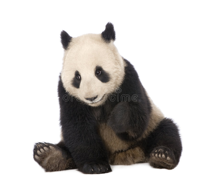 Giant Panda (18 months) - Ailuropoda melanoleuca. In front of a white background royalty free stock images