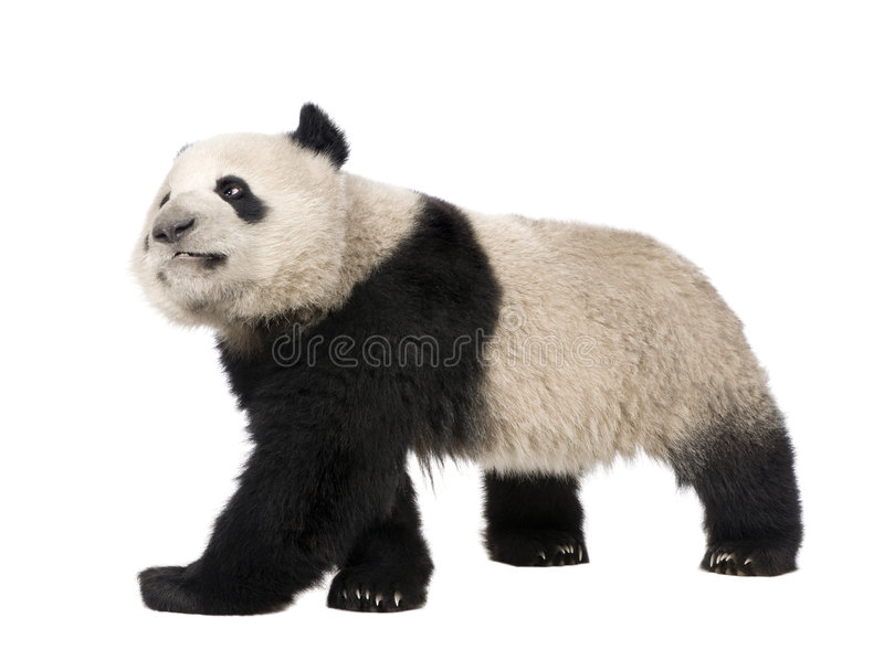 Giant Panda (18 months) - Ailuropoda melanoleuca. In front of a white background stock image