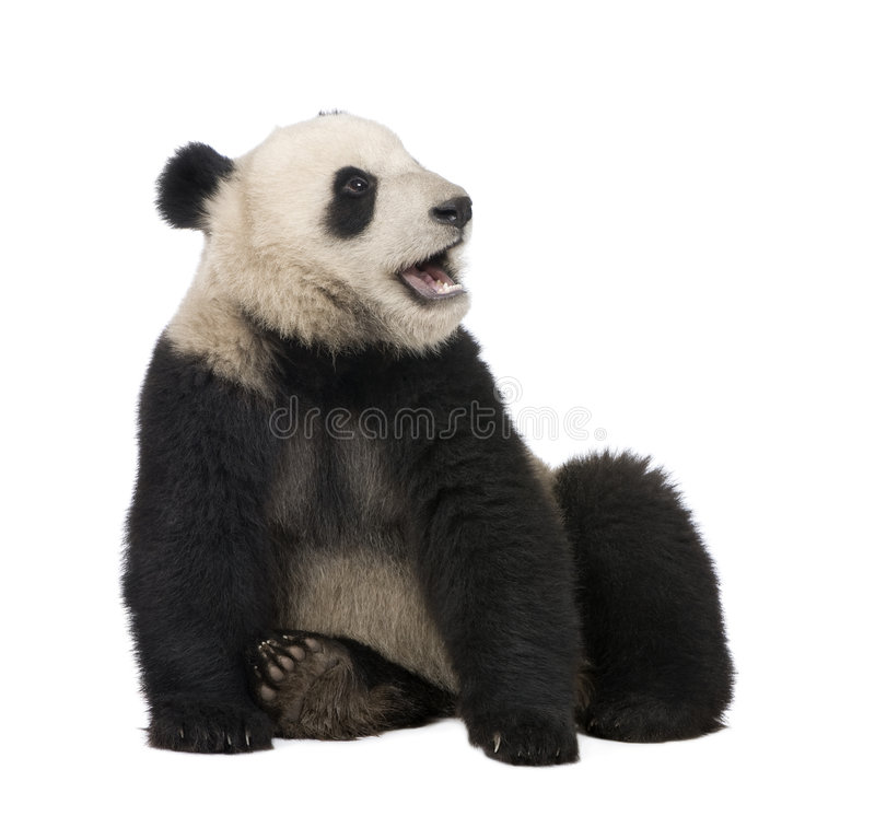 Giant Panda (18 months) - Ailuropoda melanoleuca. In front of a white background royalty free stock photos