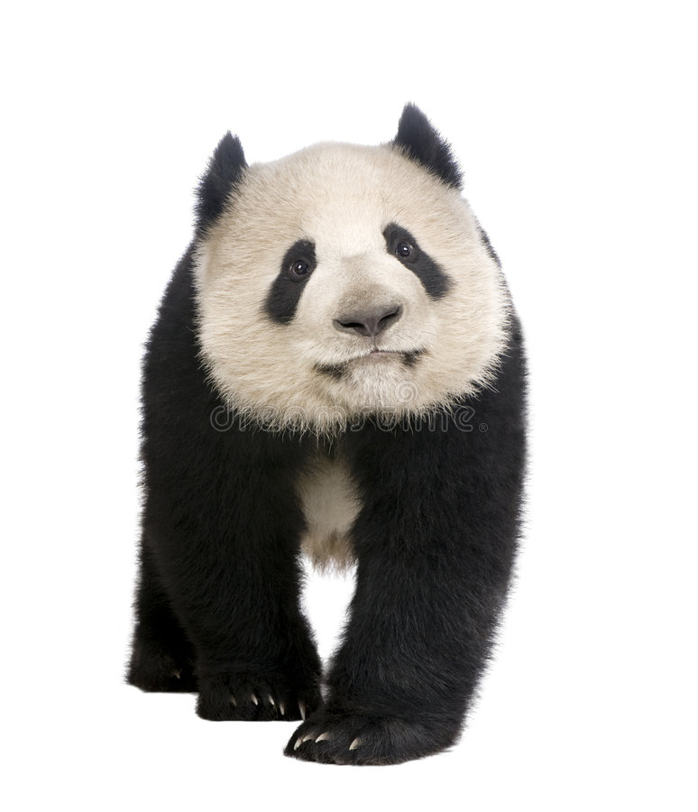 Giant Panda (18 months) - Ailuropoda melanoleuca. In front of a white background stock photo