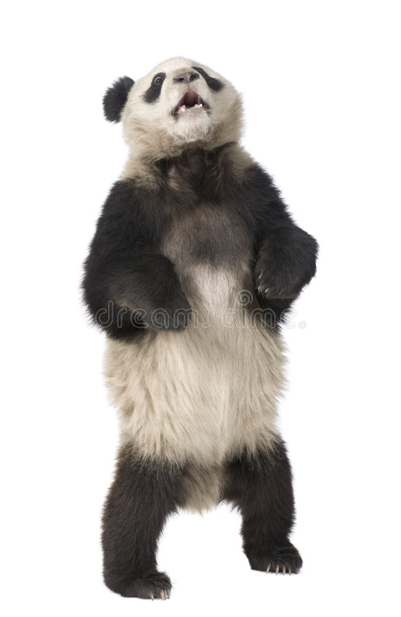 Giant Panda (18 months) - Ailuropoda melanoleuca. In front of a white background royalty free stock photo