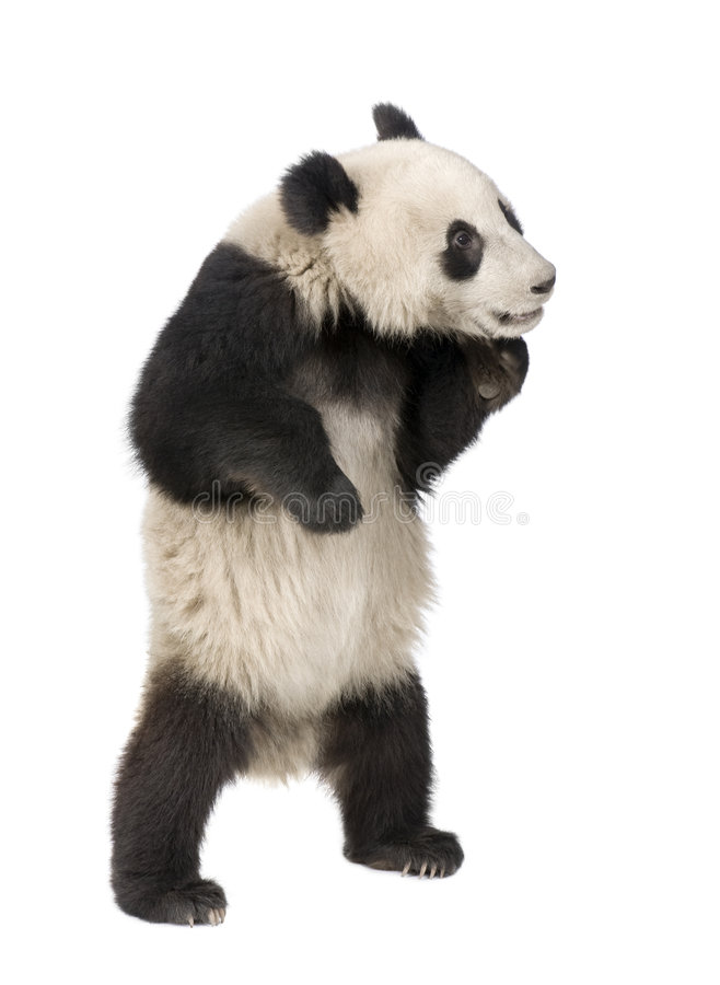 Giant Panda (18 months) - Ailuropoda melanoleuca. In front of a white background stock photography
