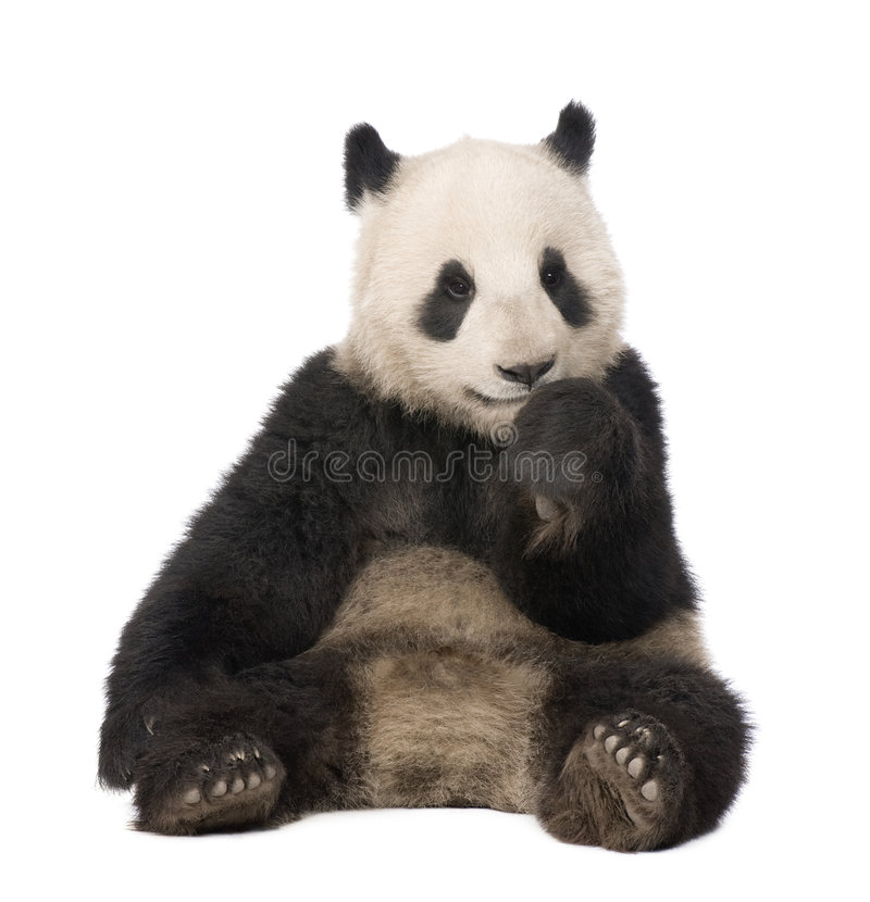 Giant Panda (18 months) - Ailuropoda melanoleuca. In front of a white background royalty free stock image