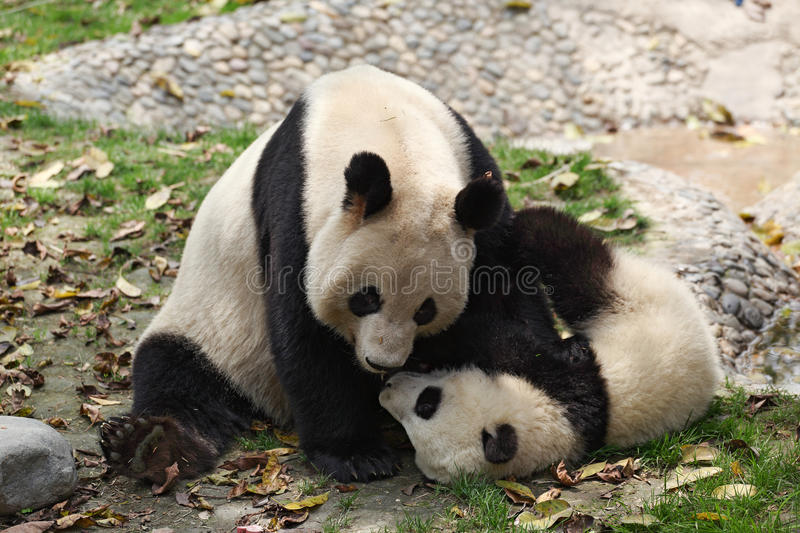 Giant panda. Mother with her baby royalty free stock photo