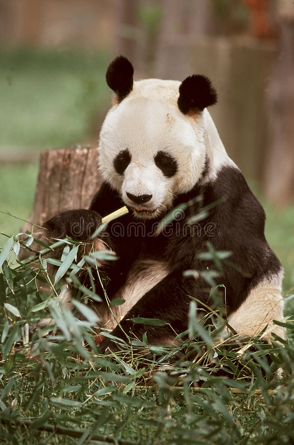 Free Giant Panda Royalty Free Stock Photos - 19388