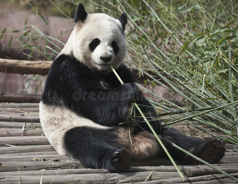 Giant panda. A Giant panda is eating bamboo leaves royalty free stock photo