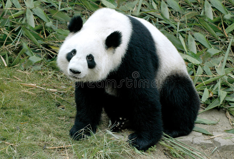 Giant panda. Cute giant panda sitting between the bamboo in china