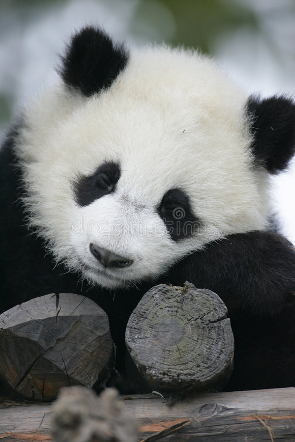 Free Giant Panda Royalty Free Stock Photo - 3718485