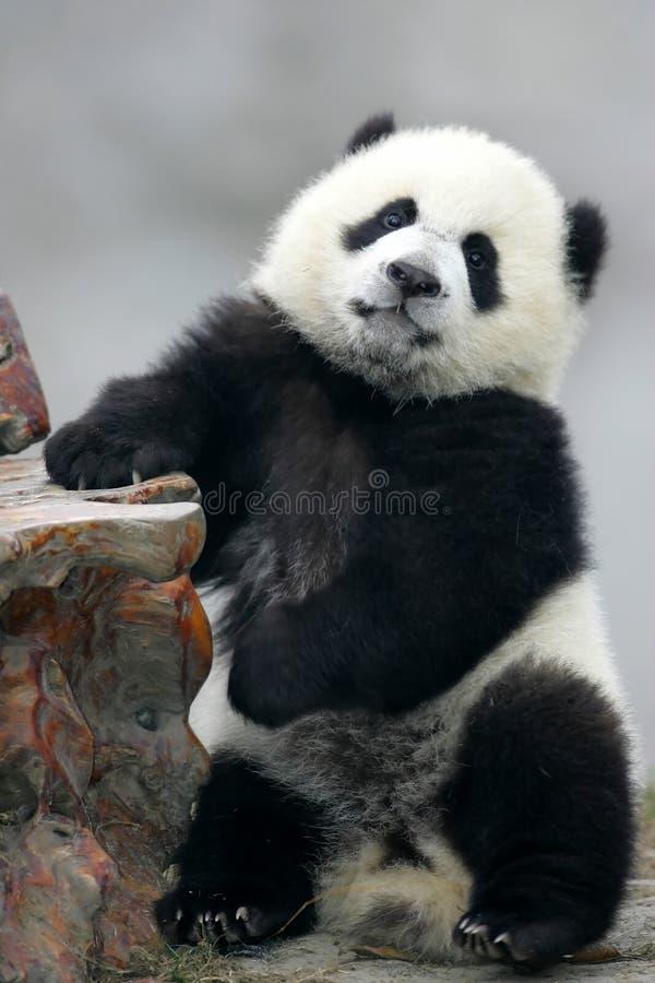 Download Giant Panda Royalty Free Stock Photos - Image: 3718638