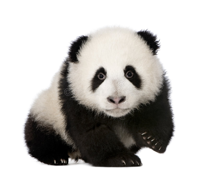 Giant Panda (4 months) - Ailuropoda melanoleuca. In front of a white background royalty free stock photos