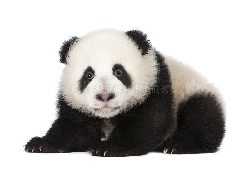 Giant Panda (4 months) - Ailuropoda melanoleuca. In front of a white background stock photos