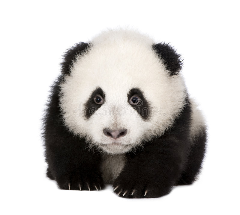 Giant Panda (4 months) - Ailuropoda melanoleuca. In front of a white background royalty free stock images
