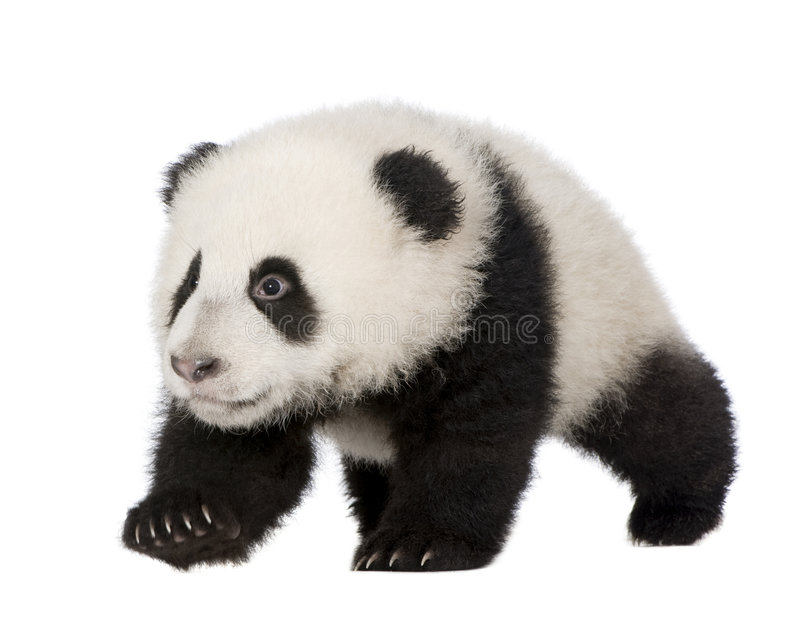 Giant Panda (4 months) - Ailuropoda melanoleuca. In front of a white background stock photography