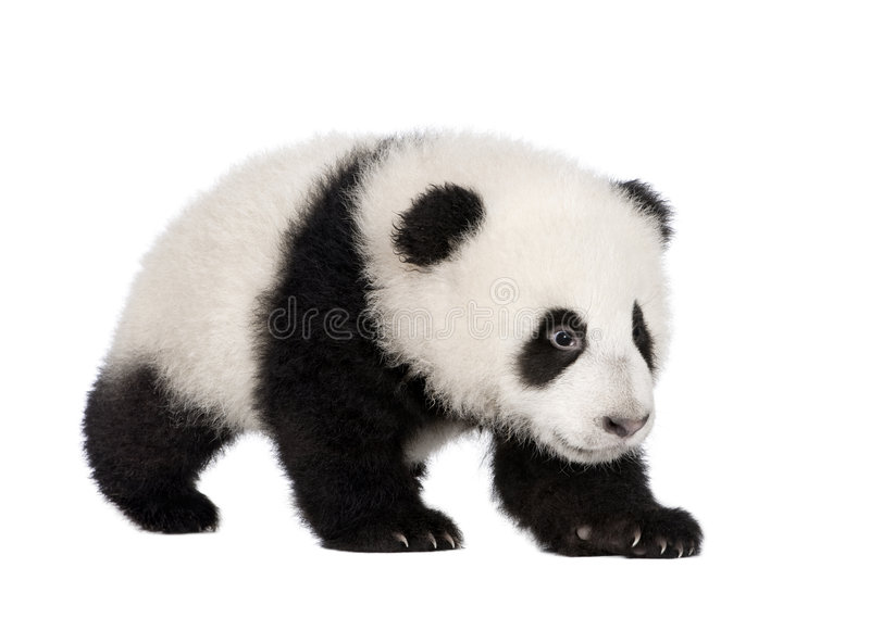 Giant Panda (4 months) - Ailuropoda melanoleuca. In front of a white background royalty free stock photography