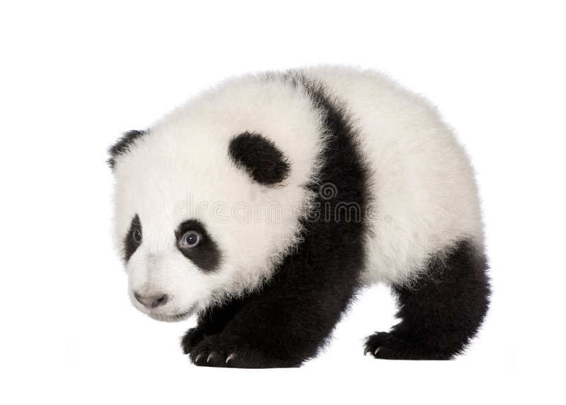 Giant Panda (4 months) - Ailuropoda melanoleuca. In front of a white background royalty free stock photo