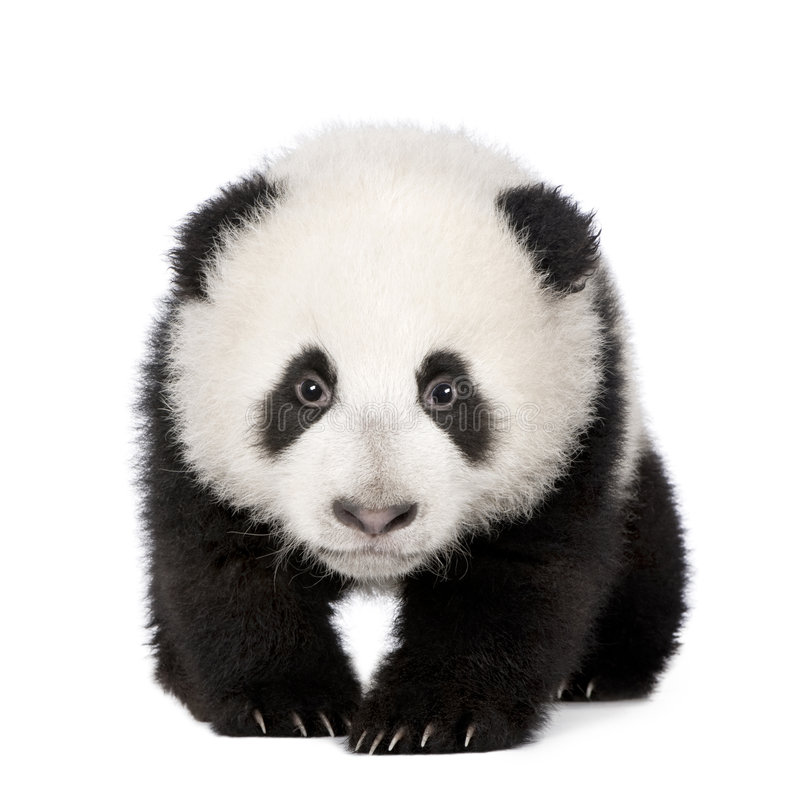 Giant Panda (4 months) - Ailuropoda melanoleuca. In front of a white background stock image