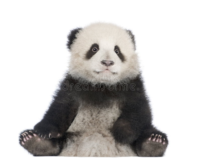 Giant Panda (6 months) - Ailuropoda melanoleuca. In front of a white background stock photo