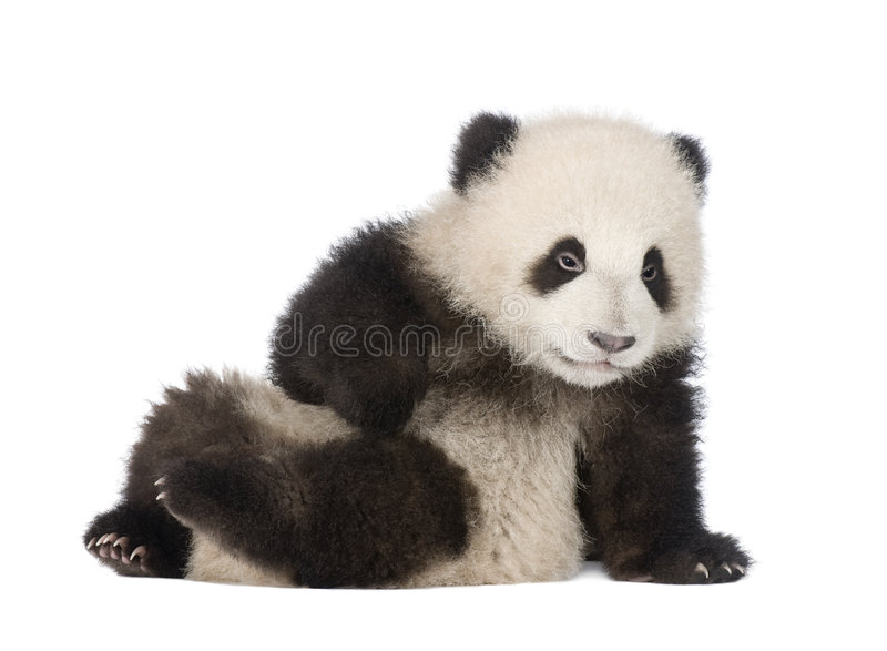 Giant Panda (6 months) - Ailuropoda melanoleuca. In front of a white background royalty free stock image
