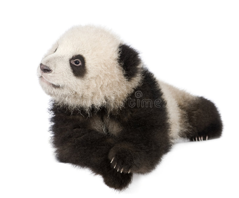 Giant Panda (6 months) - Ailuropoda melanoleuca. In front of a white background stock photos