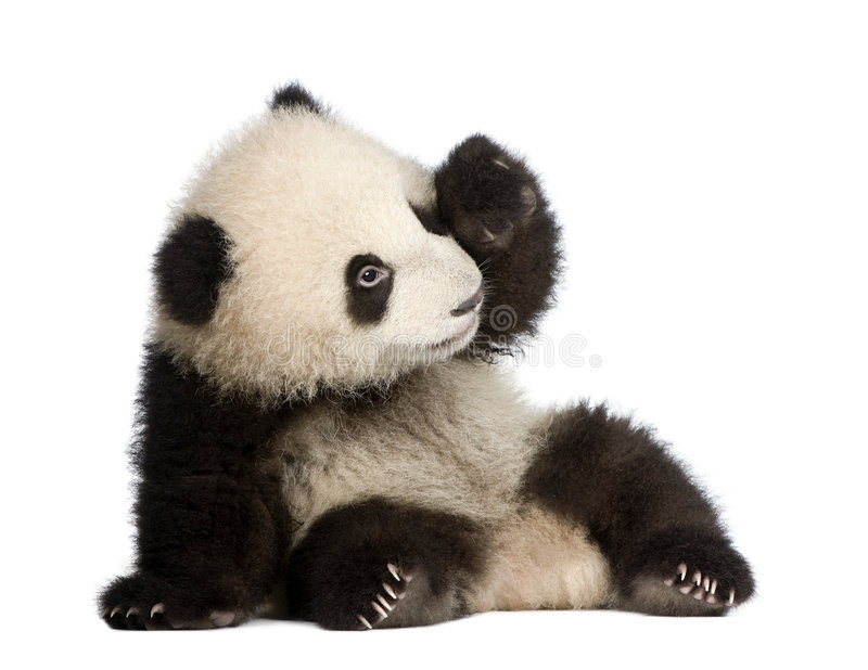 Giant Panda (6 months) - Ailuropoda melanoleuca. In front of a white background stock photography