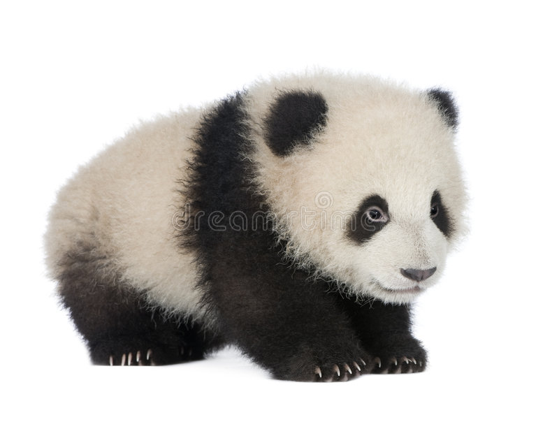 Giant Panda (6 months) - Ailuropoda melanoleuca. In front of a white background royalty free stock images