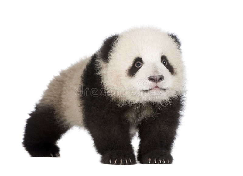 Giant Panda (6 months) - Ailuropoda melanoleuca. In front of a white background royalty free stock photography