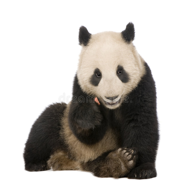 Giant Panda (6 months) - Ailuropoda melanoleuca. In front of a white background royalty free stock photos