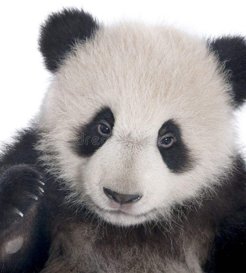 Giant Panda (6 months) - Ailuropoda melanoleuca. In front of a white background royalty free stock photo