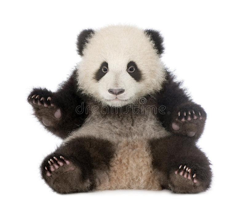 Giant Panda (6 months) - Ailuropoda melanoleuca. In front of a white background stock image