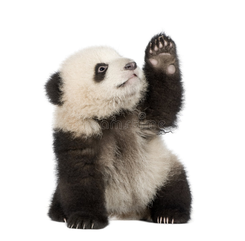 Giant Panda (6 months) - Ailuropoda melanoleuca. In front of a white background stock images