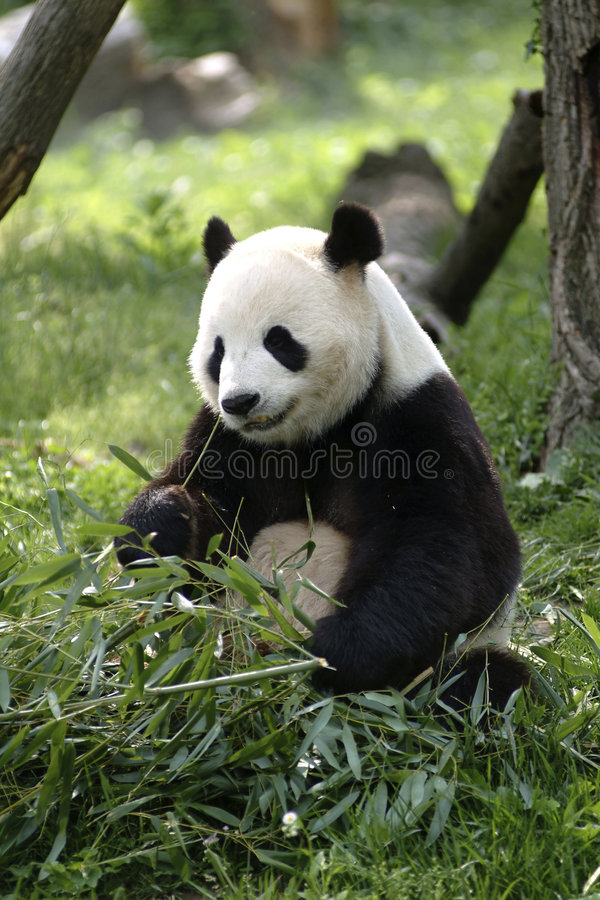 Download Giant Panda stock photo. Image of black, panda, endangered - 958158