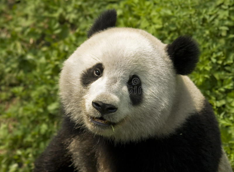 Giant Panda. Close-up Giant panda in national park photo royalty free stock images