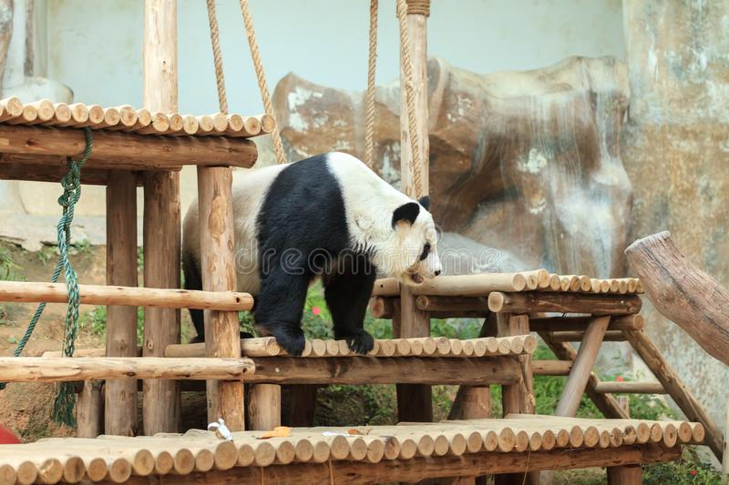Giant panda - one of the most popular tourist attraction outdoor stock photo