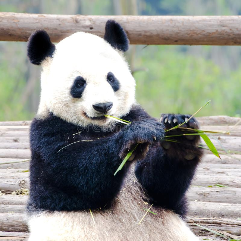 Panda Bear eating bamboo, cute Giant Panda Bear, Chengdu, China. Giant Panda Bear in Chengdu, China royalty free stock photo