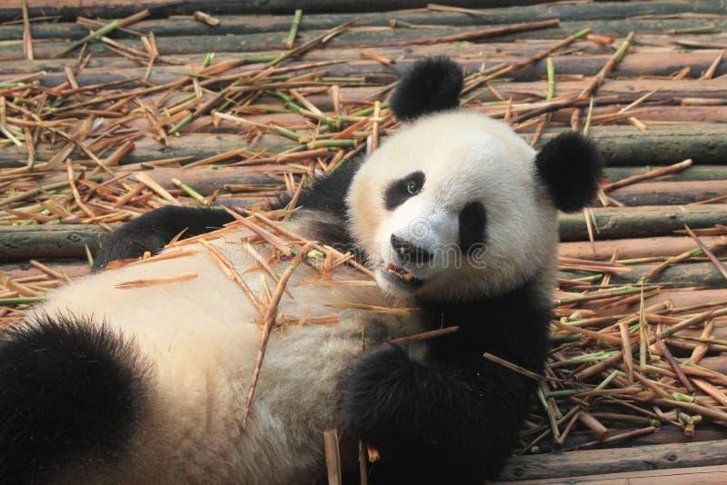 Giant, panda, bear, fauna, terrestrial, animal, snout, carnivoran, wildlife. Photo of mammal, animal, wildlife, zoo, pet, primate, bear, dog, monkey, whiskers royalty free stock photos