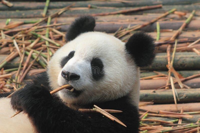 Giant, panda, bear, fauna, terrestrial, animal, snout, carnivoran, organism, fur, wildlife. Photo of mammal, animal, wildlife, zoo, pet, bear, primate, whiskers royalty free stock images