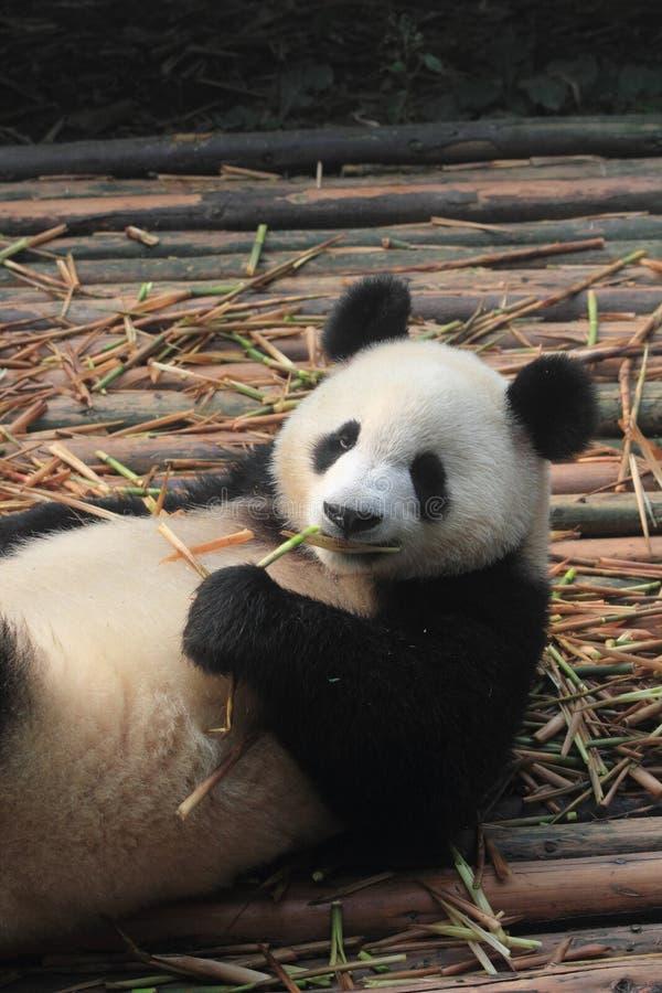 Giant, panda, fauna, bear, terrestrial, animal, snout, carnivoran, fur. Photo of giant, panda, fauna, bear, terrestrial, animal, snout, carnivoran, fur stock photos