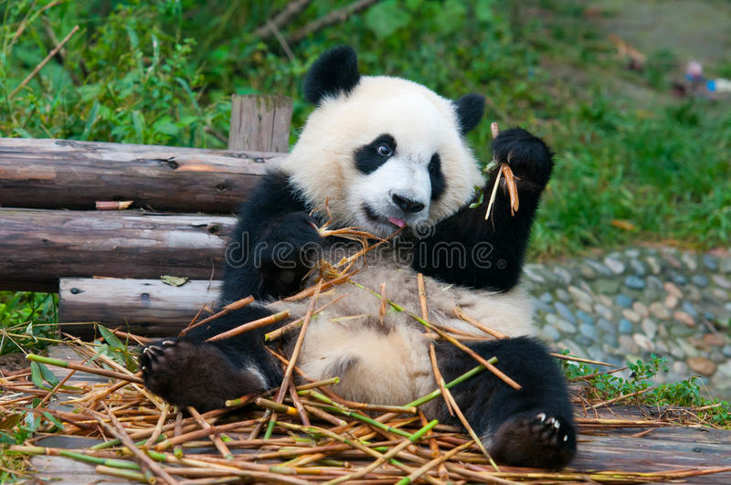 Download Giant Panda Bear Eating Bamboo Stock Image - Image: 17999815