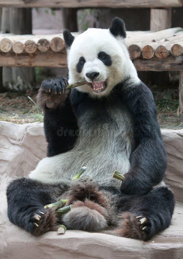 Giant panda bear eating bamboo. Chinese tourist symbol and attraction - Giant panda bear eating bamboo stock photography