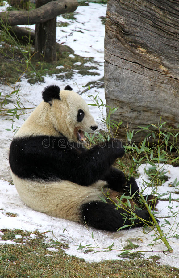 Giant panda bear eating bamboo leaf. In Vienna Zoo, Austria stock images