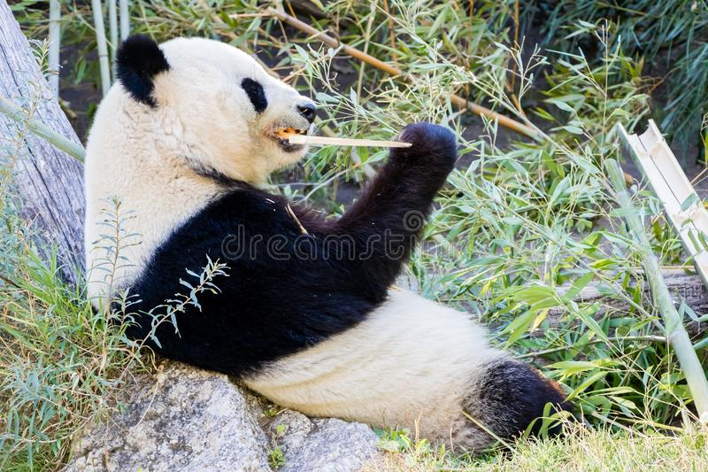 Giant Panda bear eating bamboo and lying on his back.  stock images
