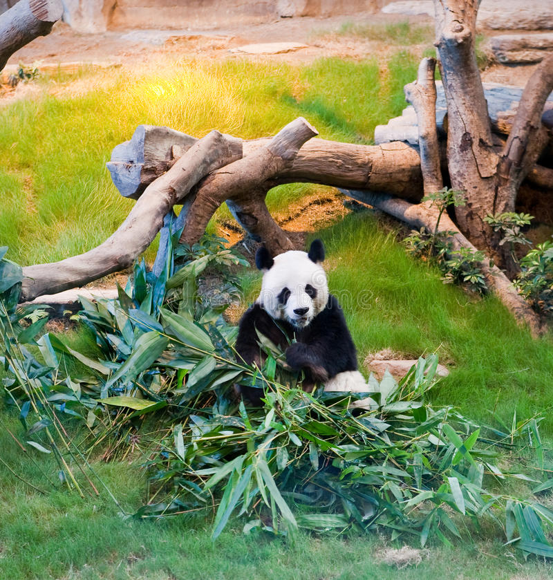 Giant Panda Bear Eating Leaves royalty free stock photo