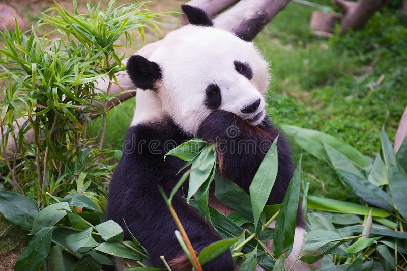 Giant panda bear eats bamboo leaves in a zoo in the Ocean park in Hong Kong, China. stock photography