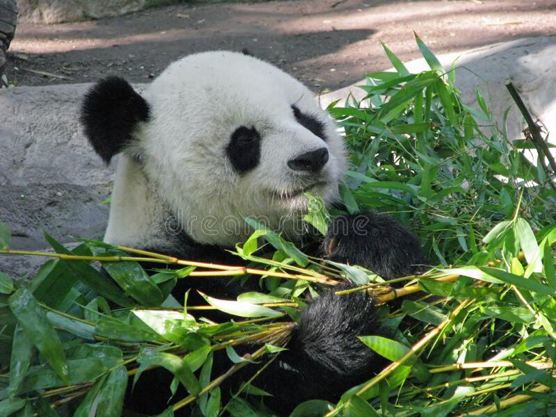 Giant panda bear with bamboo. Profile portrait of giant panda bear feeding on green bamboo leaves outdoors on sunny day stock photos